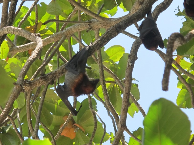 Gem Island also has flying foxes hanging in the trees.